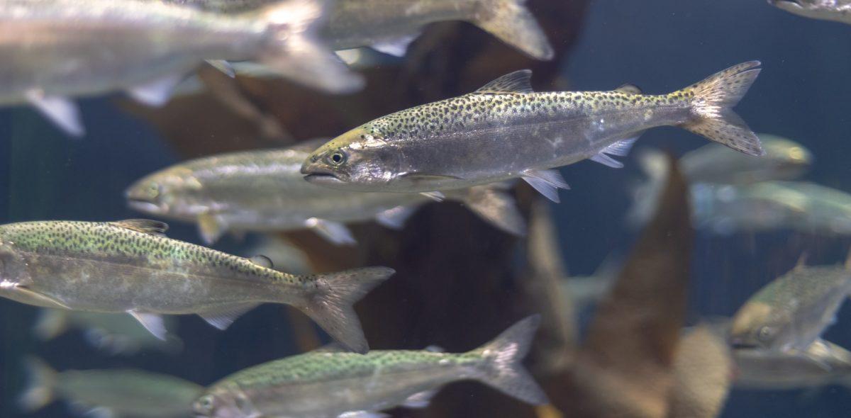School of small salmons