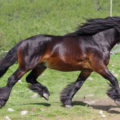 dark brown horse from the side running with green in the background