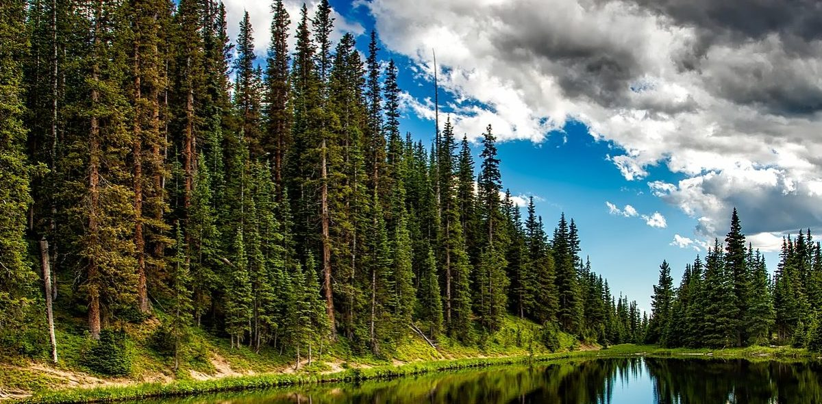 Old spruce forest next to a calm forest lake.