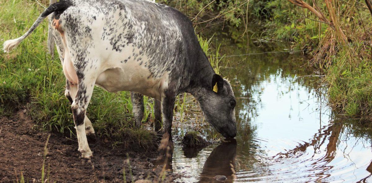Laikukas lapinlehmä juo vettä purosta