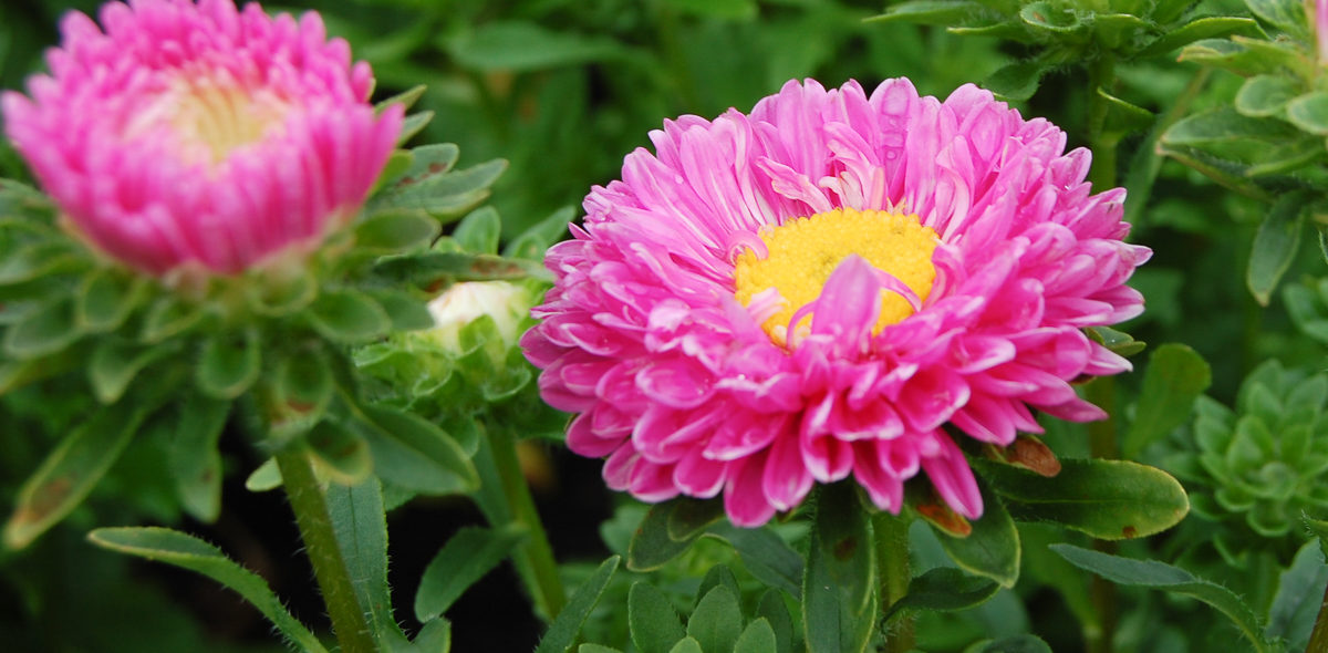 Beautiful pink flower with green leaves