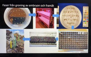 Bild från föreläsningen som beskriver fasen från groning och framåt
