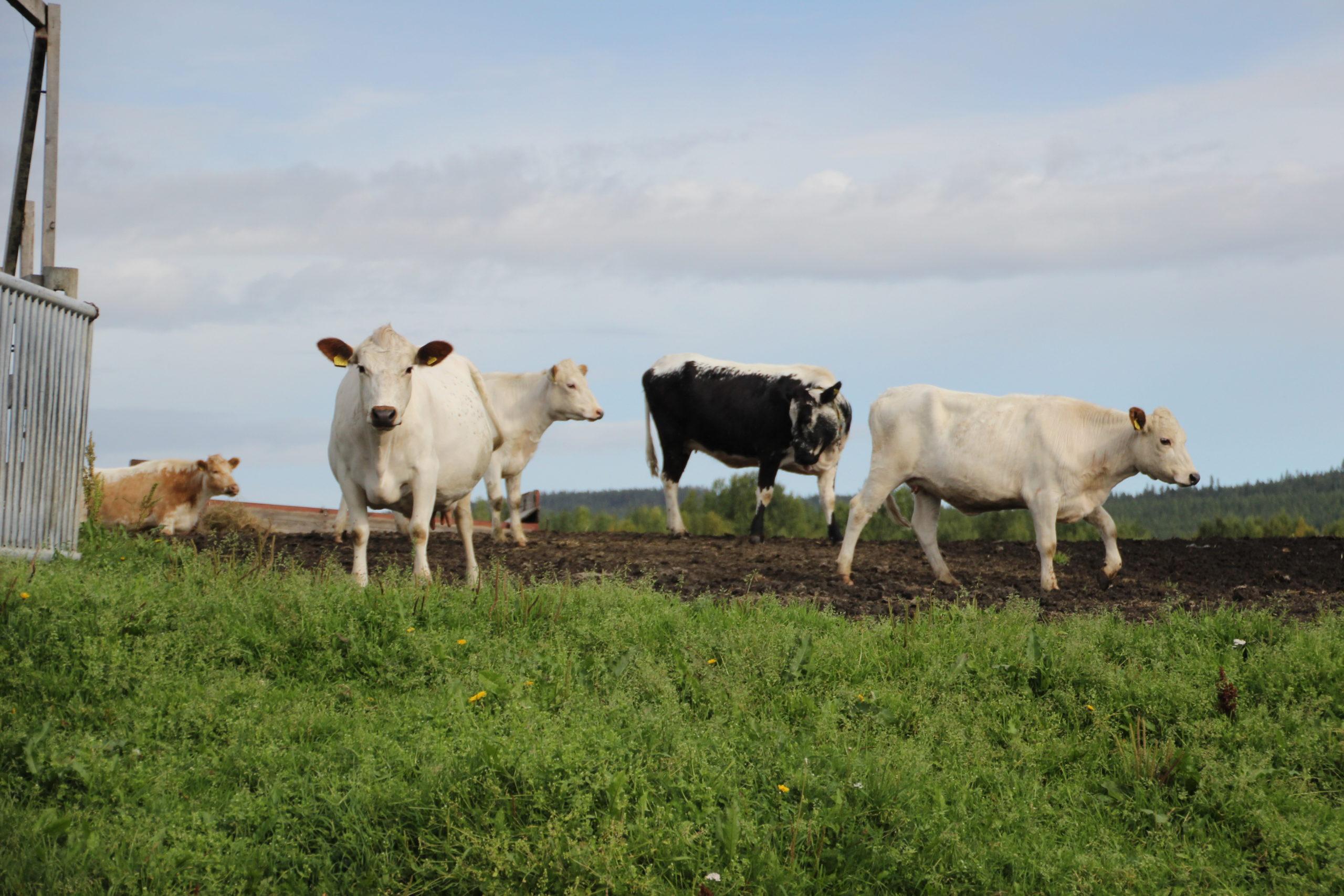 Tre vita och en svart ko ute på bete.
