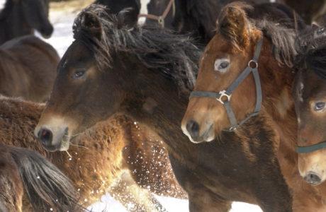 Närbild på en flock hästar galopperar i vinterlandskap