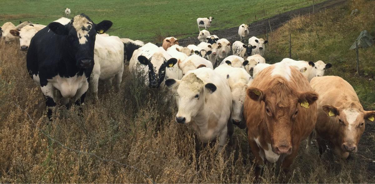 en flock kor som går i uppförsbacke mot åskådaren