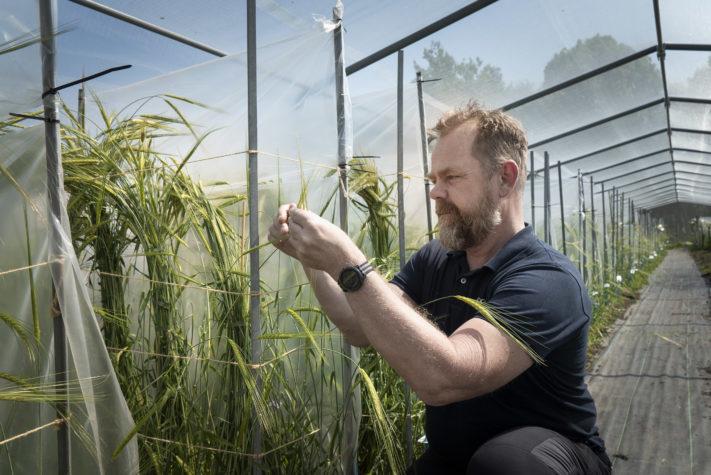 Jan T Svensson studerar NordGens uppförökning av vild korn.