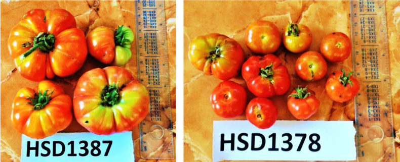 APGRC's deposit included seeds from several tomato varieties, the picture shows one of them.