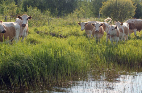 Östfinskt boskap på står i vatten i naturbetesmark