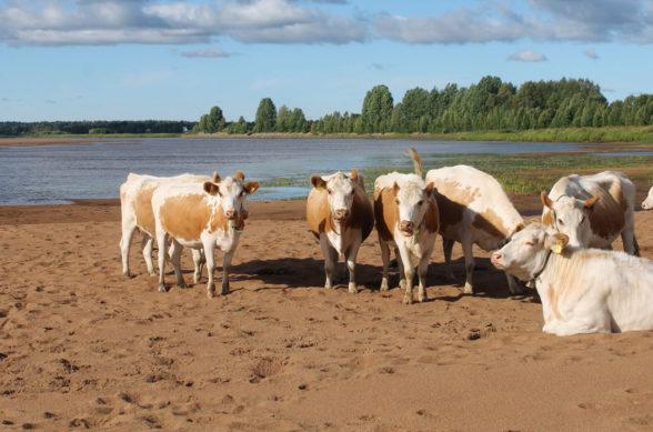 lehmiä rannalla